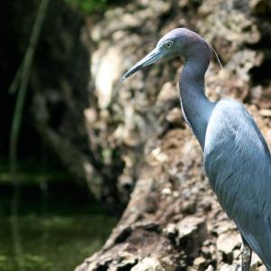 hillsborough river Blue Egret