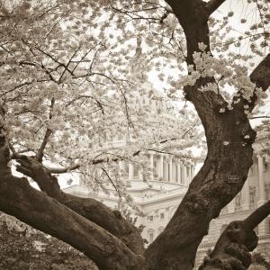 cherry_blossom_capitol_building